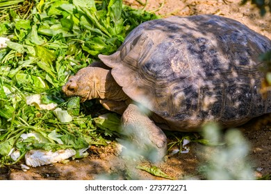 A large turtle eating the vegetable