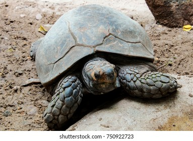 Large turtles lying on the ground.