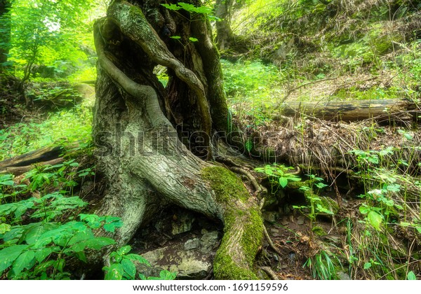 Large twisted roots of an old tree