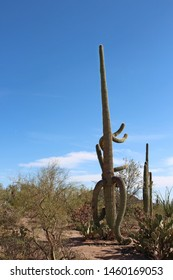 Large, unusually shaped Saguaro Cactus in a desert landscape with Prickly Pear, Ocotillo and Palo Verde bushes in Saguaro National Park, Tucson, Arizona, USA