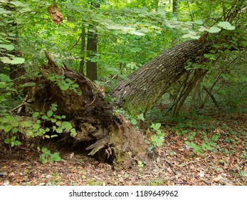 a large uprooted tree shows its roots in the green of the forest