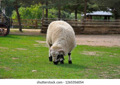 Large valais blacknose meat – wool breed sheep in farm