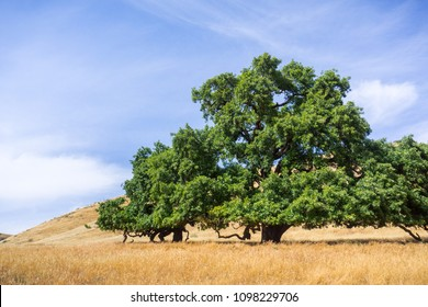 Large valley oak (Quercus lobata) surrounded by fields of dry grass, Santa Clara county, south San Francisco bay area, California