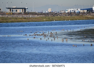large variety of birds gather during low tide in the marshes of an ecological reserve