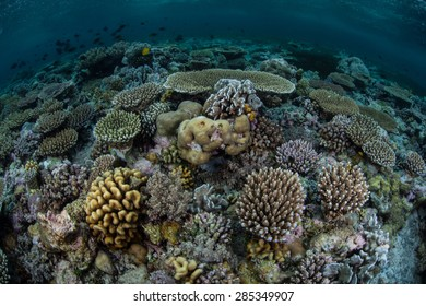 A large variety of corals compete for space to grow on a reef in Wakatobi National Park, Indonesia. This area, found just south of Sulawesi, harbors some of the Coral Triangle's most healthy reefs.