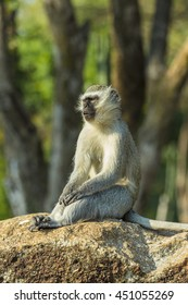 Large vervet monkey sitting on a rock in the sun