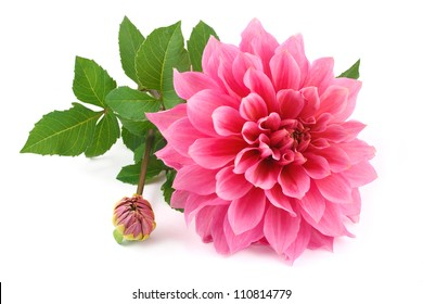 large and very beautiful pink dahlias with buds and green leaves isolated on a white background