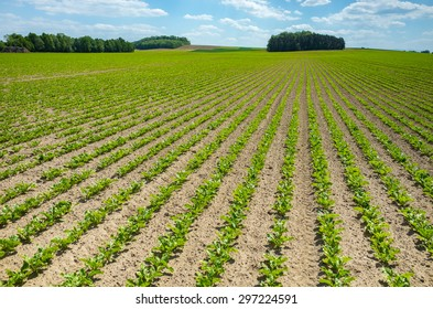 Large view on the green young sugar beet field