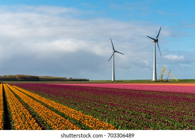 Large view on the windmills on the tulip field