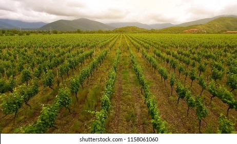 Large vineyard rows, winemaking in Georgia, agriculture and farming, aerial view