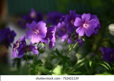 Large violet flowers of a geranium are shined non-uniformly. On petals there are water drops. - Shutterstock ID 752421139