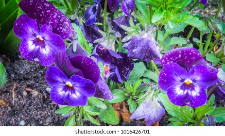 Large violets, pensy flowers, rise hads after the spring shower rain.