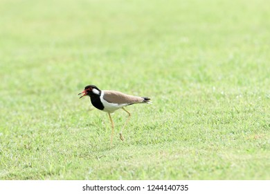 A large wader with black head and neck , light brown wings and a red fleshy wattle in front of each eye.