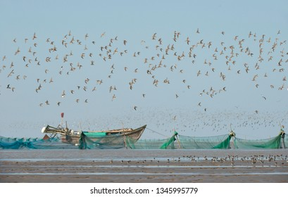 Large of waders in flight over the coastal mud flats on the east coast of China. Important staging area for many threatened species along the east Asian flyway.