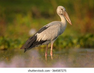 Large wading bird  Anastomus oscitans Asian Openbill stork standing in water full of  purple flowering water hyacinth,colorful late afternoon light, pink foreground,blurred background.Sri Lanka.