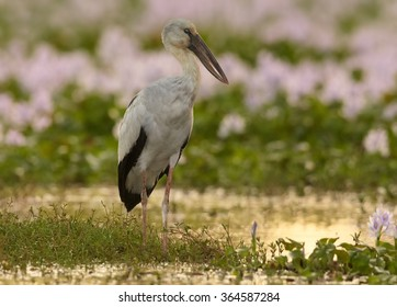 Large wading bird  Anastomus oscitans Asian Openbill stork standing in water full of  purple flowering water hyacinth,colorful late afternoon light, sun reflections,nice bokeh.Sri Lanka.