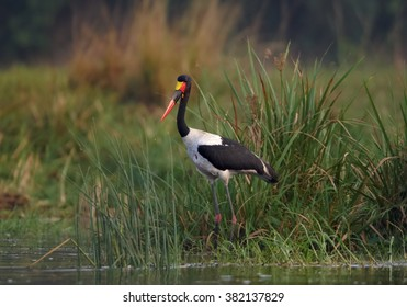 Large wading bird Saddle-billed Stork Ephippiorhynchus senegalensis standing among green reed on the bank of Nile river in Uganda in early morning light, against blurred green background.