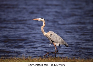Large Wading Great blue heron Ardea herodias wading bird at Myakka State Park in Sarasota, Florida
