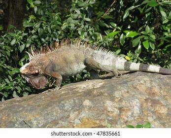 Large Walking Iguana