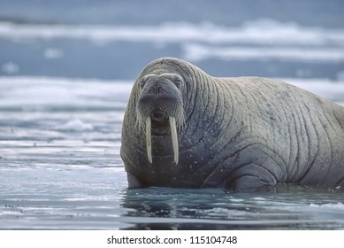Large walrus on ice floe. Canadian High Arctic