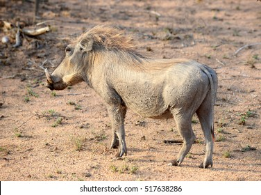 Large warthog looking for food in the Kruger Park in South Africa in the warm glow of the setting African sun.