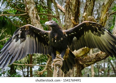 Large wedge-tailed eagle in Australia