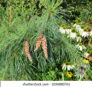 Weeping White Pine Images Stock Photos Vectors Shutterstock