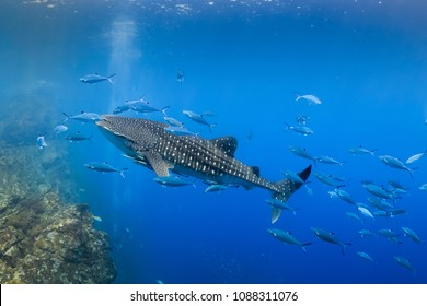 Large Whale Shark swimming in shallow water over a tropical coral reef