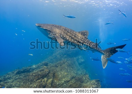 Large Whale Shark Swimming Shallow Water Stock Photo (Edit