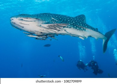 A large Whale Shark swims past a pair of SCUBA divers on a tropical coral reef