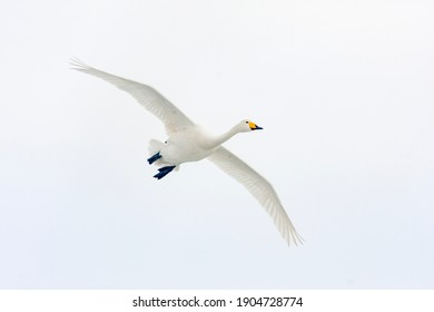 Large white bird flying, whooper swan, cygnus cygnus in flight with spread wings