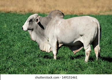 Large white Brahman bull on green pasture