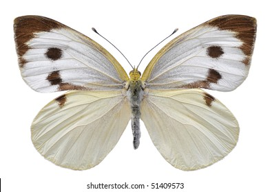 Large white butterfly, also called Cabbage Butterfly or Cabbage White (Pieris brassicae), open wings isolated on white background