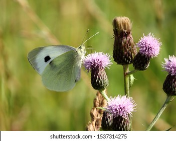 A Large White butterfly perches on a creeping thistle in a rewilded wildflower meadow.