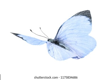 Large white butterfly (Pieris brassicae) isolated on a white background