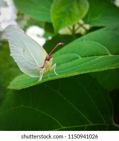 large White butterfly sitting on green leaf close up