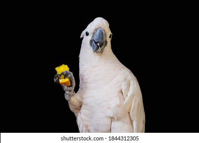 Large white cockatoo parrot holding orange in his foot