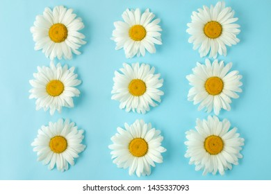 Large white daisy flowers on a gentle light blue background. background of flowers. top view.