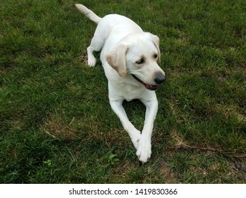 large white dog with paws crossed on green grass