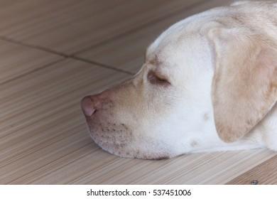 Large white dog sleeping ,white Labrador