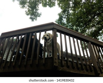 large white dog at top of wooden deck