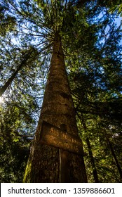 large white fir in the forest