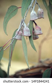 Large white gumnuts and grey green leaves of the Silver Princess Eucalyptus caesia. Endemic to Western Australia.