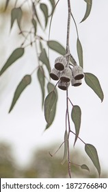 Large white and gumnuts and grey green leaves of the Australian native Silver Princess, Eucalyptus caesia, family Myrtaceae. Endemic to Western Australia.