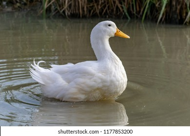 Large white heavy duck also known as America Pekin Duck, Long Island Duck, Pekin or Aylesbury Duck, Anas platyrhynchos domesticus