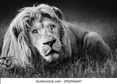 Large white male lion (Panthera leo) portrait in black and white close-up highly focused fine art. Stock