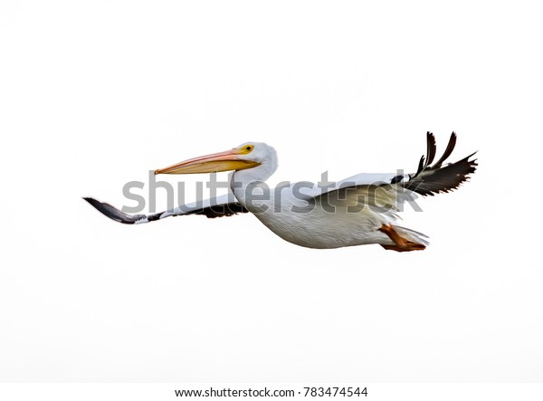Large white pelican with wings wide and white background