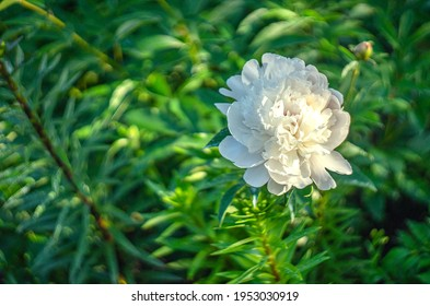 Large white peony flower on a green background in the park