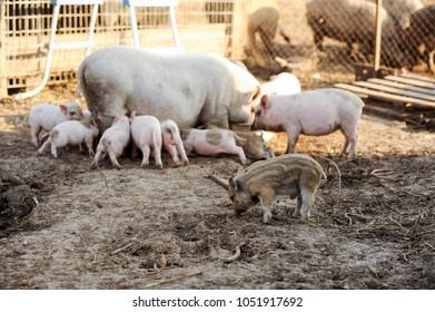 Imagenes Fotos De Stock Y Vectores Sobre Large White Swine