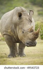 Large white rhinoceros